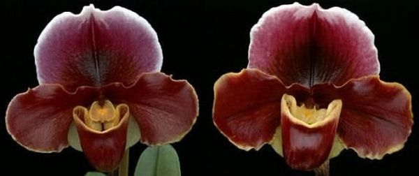 Red bulldog Paph John Hainsworth blooming size orchid