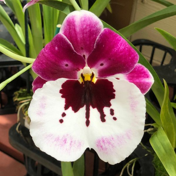 Miltoniopsis Lila Fearneyhough orchid in spike