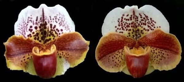 Bulldog Paph Tommy Egger blooming size orchid