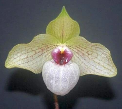Paph Lynleigh Koopowitz ladyslipper orchid blooming size