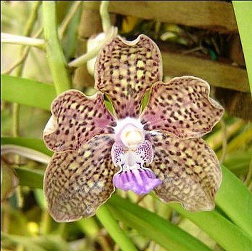 Vanda Mimi Palmer small seedling in hanging basket