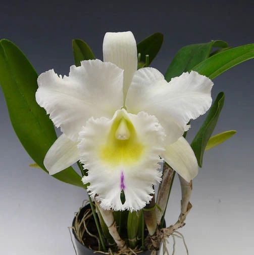 Bc. Pastoral 'Innocence' cattleya orchid, blooming size, will make lovely flowers