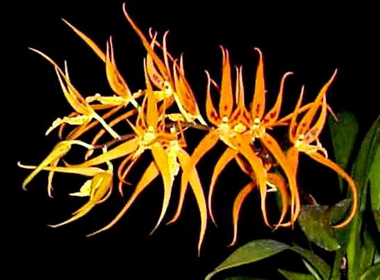 Brassia Orange Delight orchid seedling, will make striking orange flowers