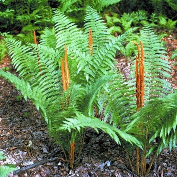3 baby Cinnamon fern plugs, Osmunda cinnamomea, easy growers