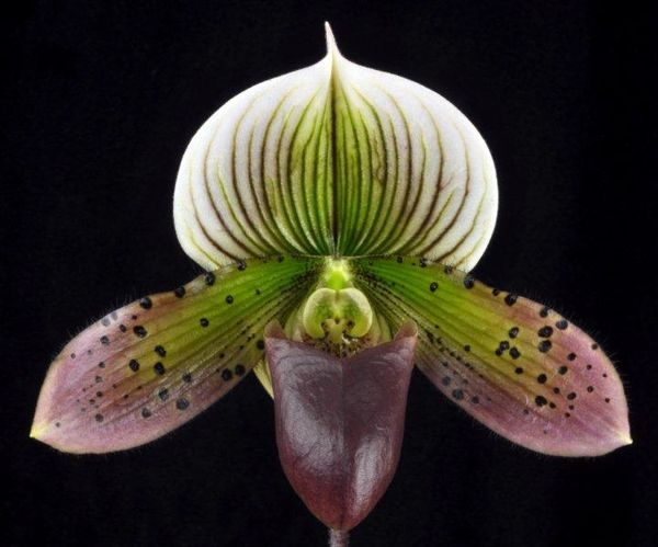 Lovely maudiae type ladyslipper orchid in bud now