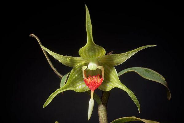 Dendrobium tobaense var giganteum blooming size species orchid