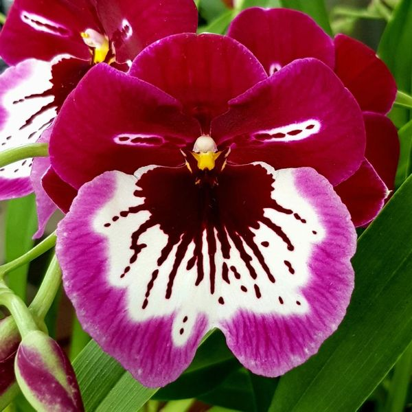 Three blooming size Miltoniopsis orchids, grower's choice