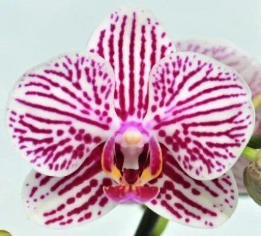 Phalaenopsis (phal) Taida King's Caroline AM/AOS blooming size