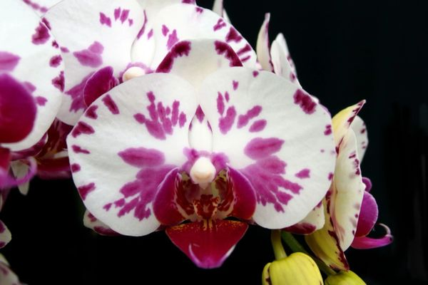 Phalaenopsis (phal) OX Little Prince with two spikes