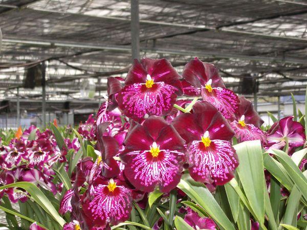 Miltoniopsis Lennart Karl Gottling blooming size