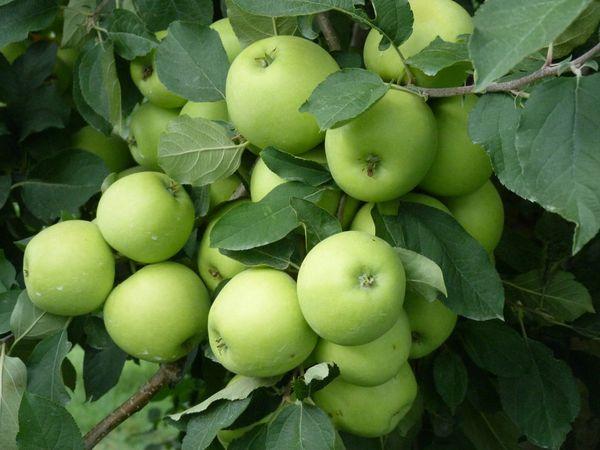Mixed Apples - Bag