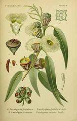Eucalyptus Australia ORGANIC 100% Pure Essential Oil 10ml