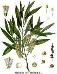 Tea Tree ORGANIC 100% Pure Essential Oil 10ml