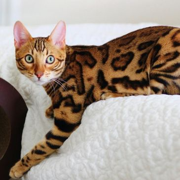 We offer pelts of all Bengal colors and our Queens & Kings are paired to optimize the wow factor.