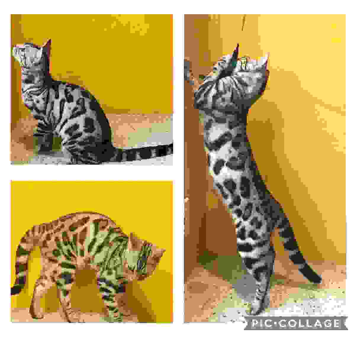 Adorable silver and snow Bengal kittens offered by Exotic Bengals of San Diego