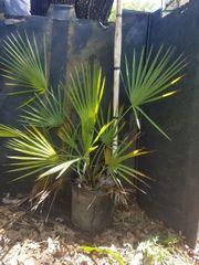 Brahea Aculeata