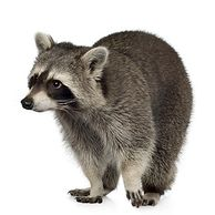 #raccoon, #raccoon nyc