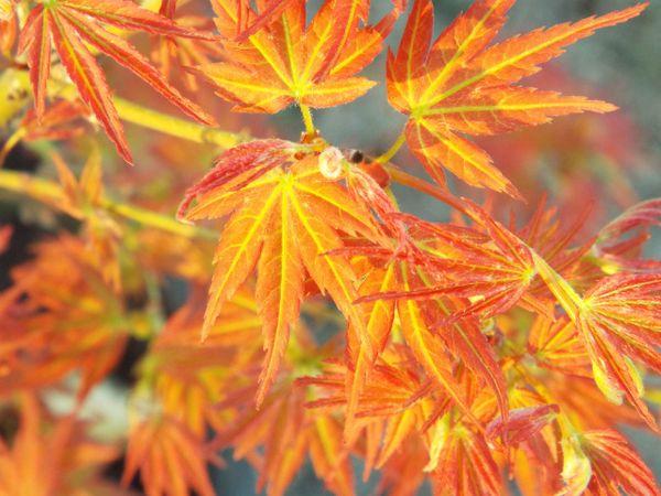 Acer Palmatum Bonfire Jensfarm Maples