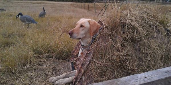 hunting dog, duck dog, bird dog, gun dog, duck hunting