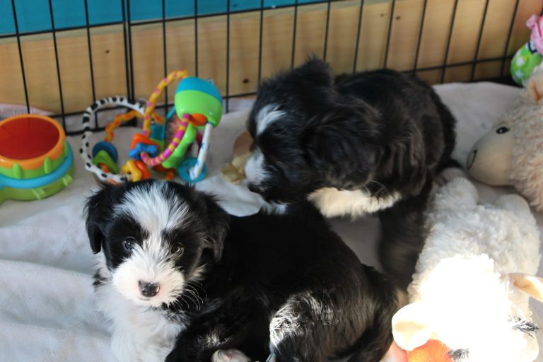 Two Tibetan Terrier puppies playing