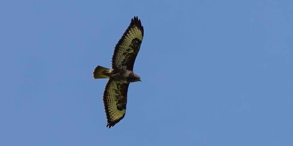 A photo of a common buzzard flying high in the sky which is a vivid blue colour