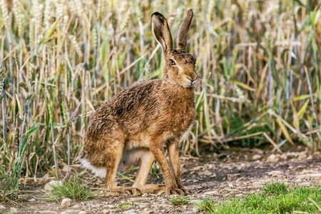 A brown hare in a field of wheat