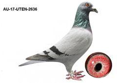 AU-17-UTEN-2636 Blue Bar Cock Willem De Bruijn
