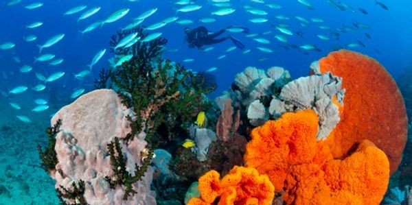 Pristine reefs in Papua New Guinea, diver swims over coral reef.
