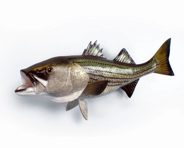 "FF526 Striped Bass 36"""