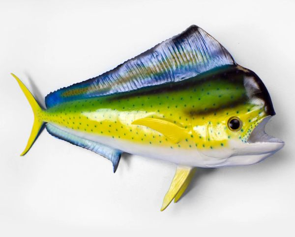 TT502 Mahi Mahi 41""