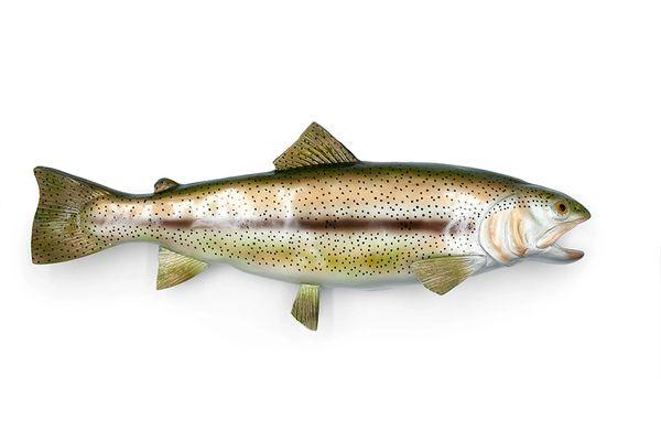 "TT419 Rainbow Trout 18"""