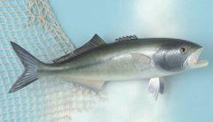 "Blue Fish 20"" Fish Mount"