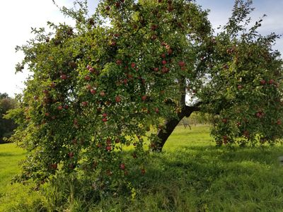 Wolf River - a heritage apple tree