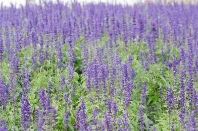 Lavender essential oil 1/2 oz