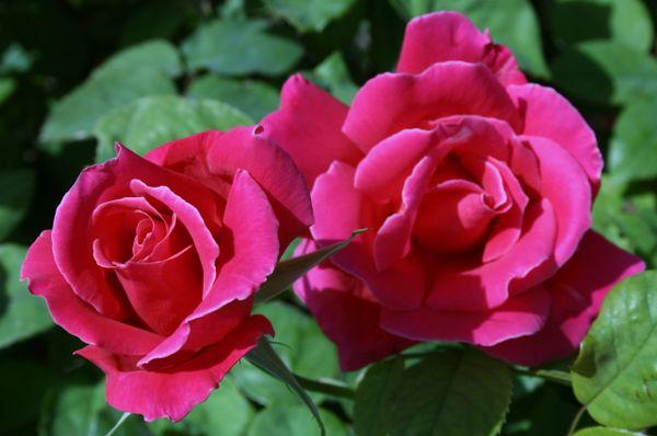 Pat's Rose
