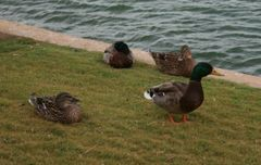 Ducks Counted Cross Stitch Kit