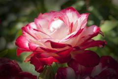 Bi-Colored Rose Counted Cross Stitch Kit.