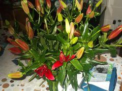 Liliums delight