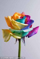 Multi colour rainbow rose (in sleeve)