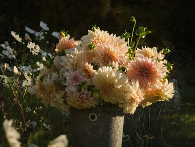 Bucket of cafe au lait dahlias