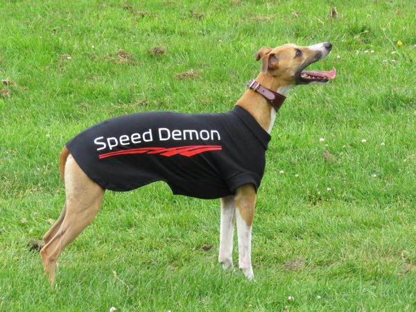 Whippet Dog T-Shirt - with speed Slogan!