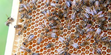 Honey bees working a frame of uncapped Maryland honey