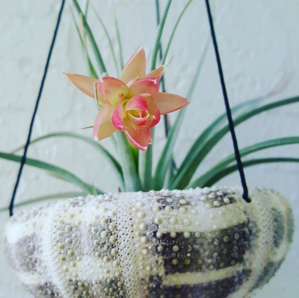Jumbo Sea Urchin Hanging Basket