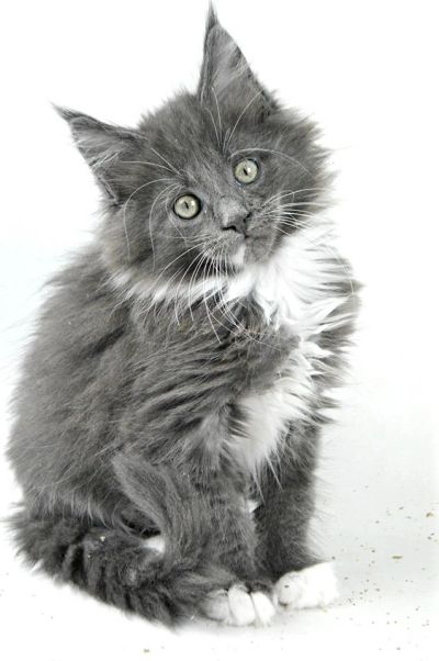 Maine coon kitten breeder Northamptonshire Buckinghamshire Leicestershire UK kittens available