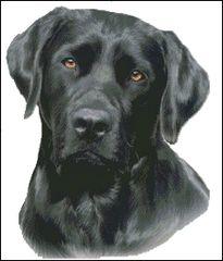 Black Labrador NB