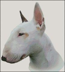 Bull Terrier NB