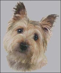 Cairn Terrier NB