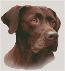 Chocolate Labrador NB