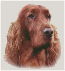 Irish Red Setter NB