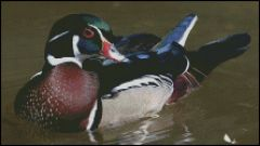 Beautiful Wood Duck